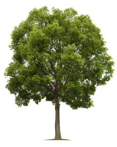 Tree_Isolated